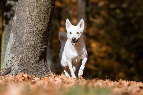 El perro de Canaán, silvestre durante muchas generaciones