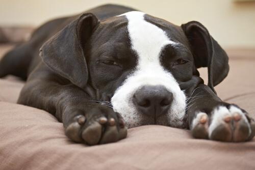 Perro dormilón
