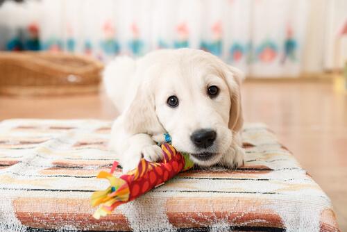 Perro posesivo con sus juguetes