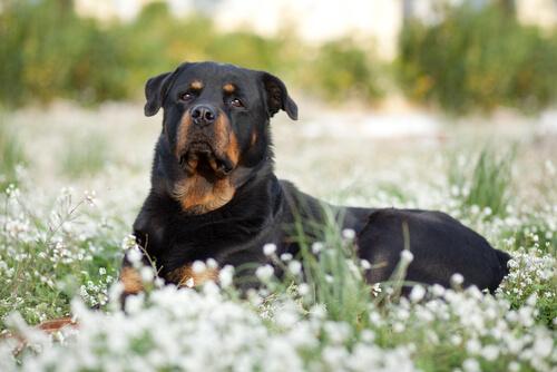 Наиболее распространенные жесты у собак крупных пород
