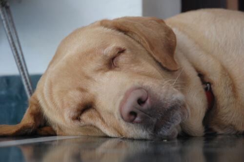 Perros viejos duermen mucho