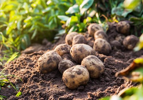 Plagas principales de la agricultura en España