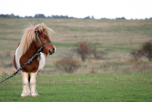 El pony: origen, características y curiosidades
