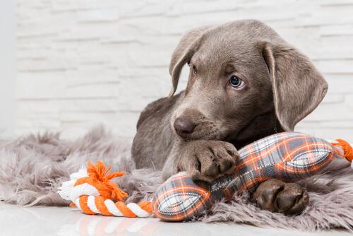 La protección de recursos en perros