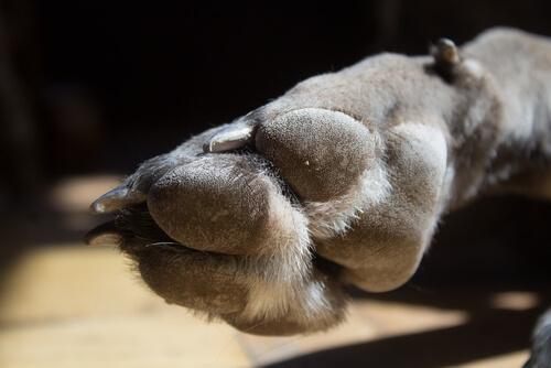 Quinto dedo del mastín