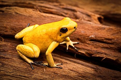 La rana flecha dorada (Phyllobates terribilis)