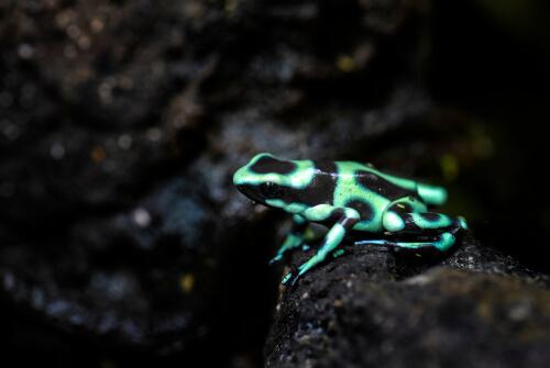 Rana venenosa verde y negra