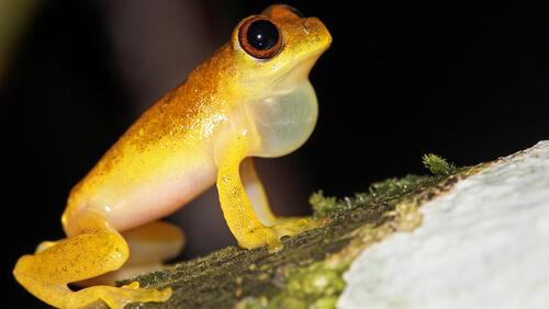 5 anfibios de Sudamérica
