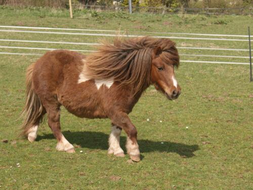 Razas de pony