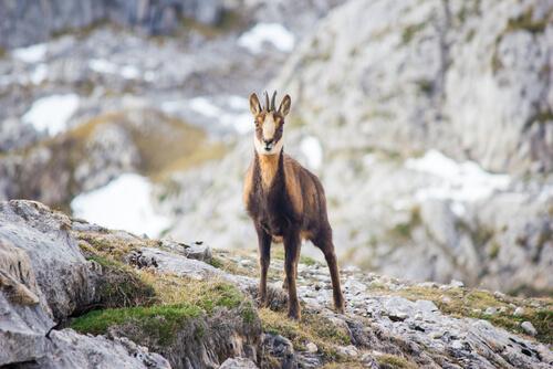 Captura de animales silvestres: el rebeco