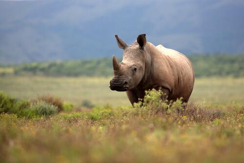 Rinoceronte: amenaza