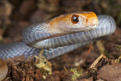 Serpiente de Taipán: mordedura