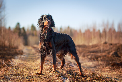 Setter gordon: el perro de muestra más bello