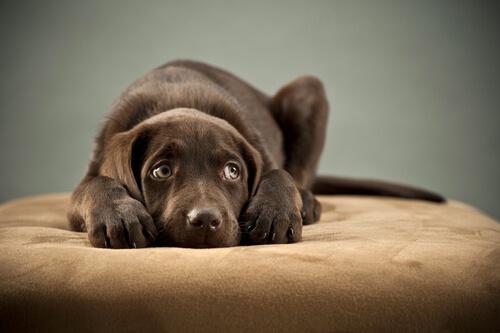 Aprende a detectar síntomas del parvovirus canino