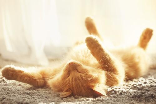 Síntomas de un golpe de calor en gatos