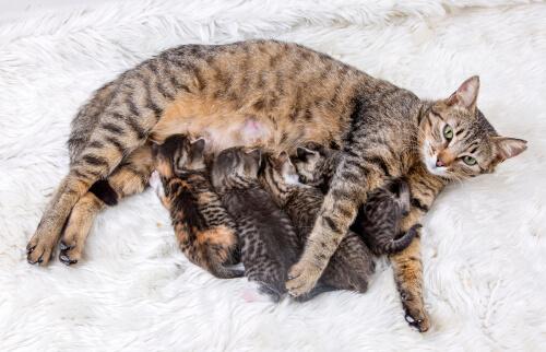 La importancia del control de natalidad en gatos