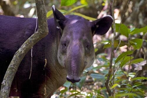Tapir de Baird o centroamericano