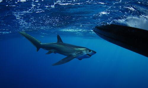 Tiburón zorro de anteojos