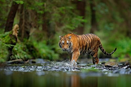 Tigre: especie amenazada