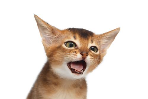 La tos en los gatos