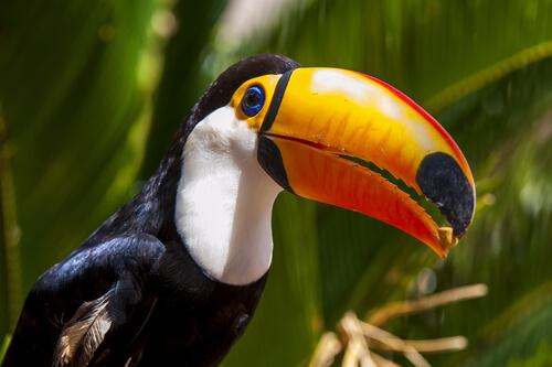 El tucán y su pico colorido