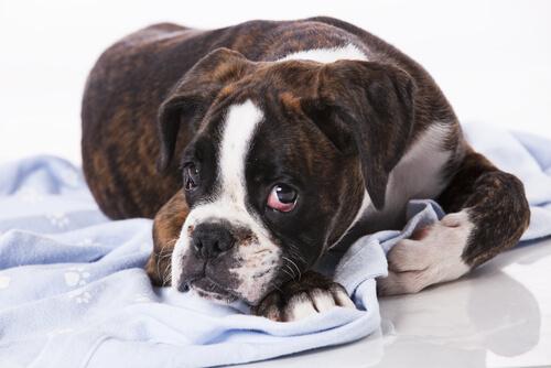 ¿Existen los tumores contagiosos en perros?