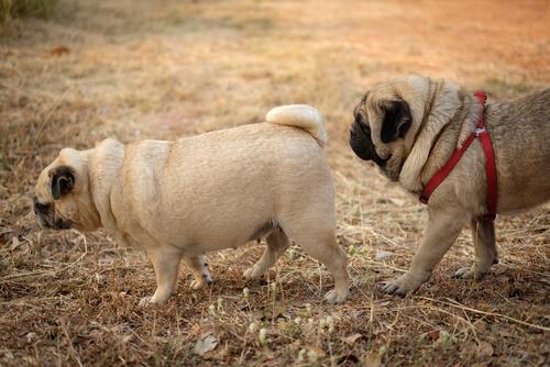 Viagra para perros
