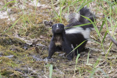 Zorrillo: características y hábitat