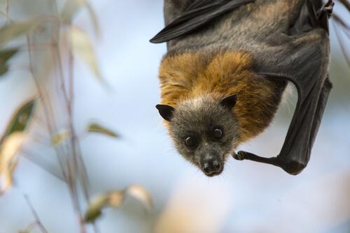 Zorro volador: murciélago