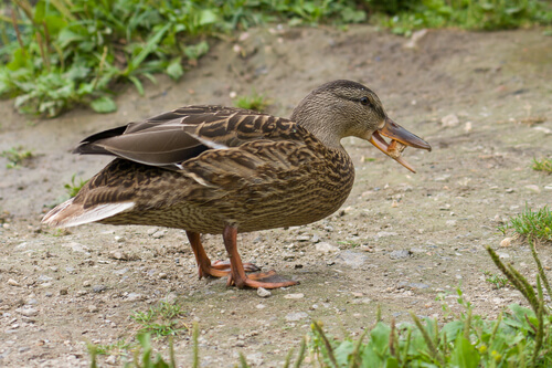 La alimentación de un pato como mascota