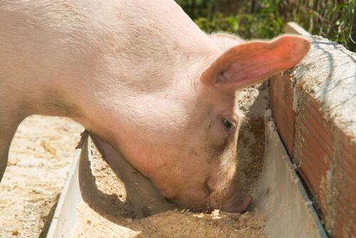 La mejor alimentación del cerdo