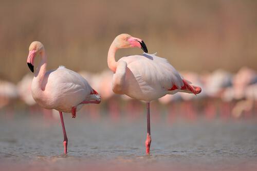 Animales con patas más largas: flamenco