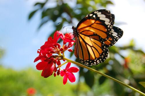 La increíble odisea de las mariposas monarcas