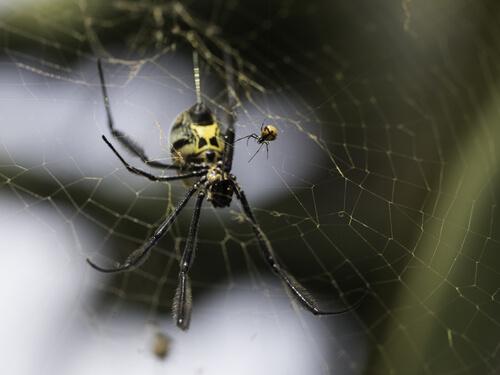 Araña tejedora de seda