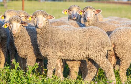 Bolo ruminal: ovinos