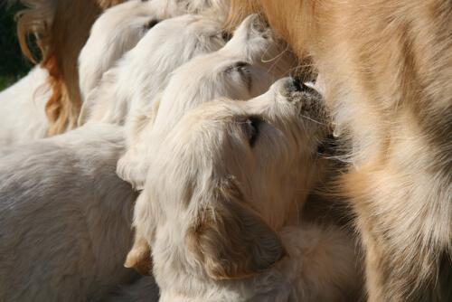 Cachorros destetados antes de tiempo