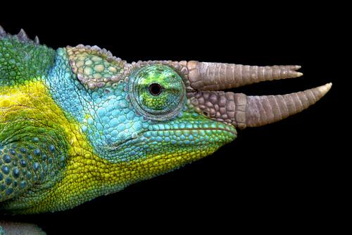 Camaleón de Jackson: reproducción