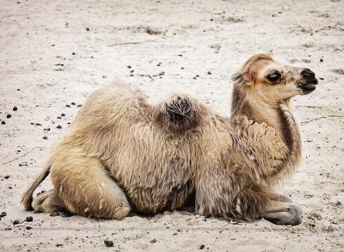 Camello bactriano salvaje