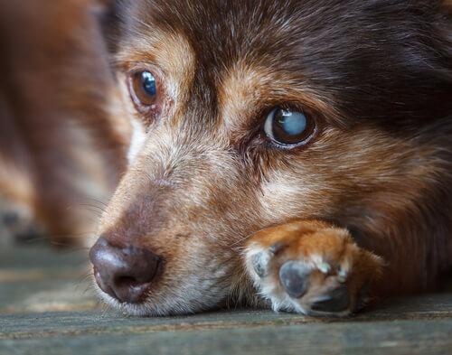 Cataratas en perros: causas