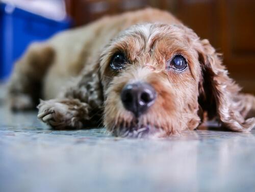 tratamiento natural para la infección del ojo del perro