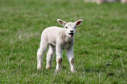 Coccidiosis en corderos: diagnóstico
