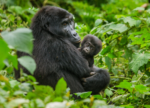 Conservación del gorila de montaña