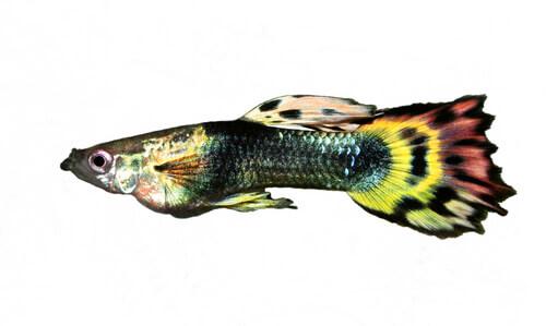 Cría de peces guppy