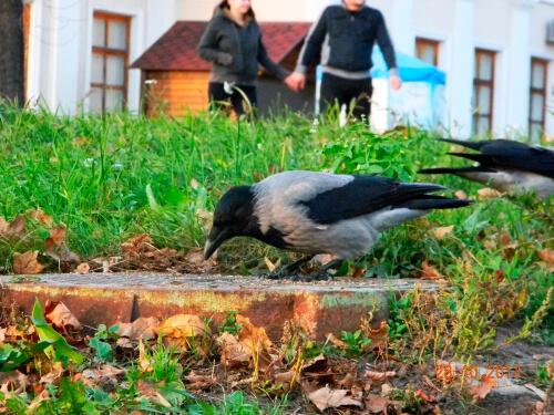 El cuervo como mascota, ¿completa locura?
