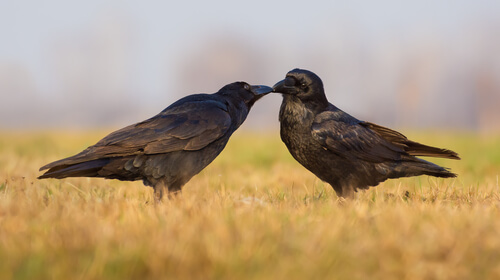 Cuervo como animal doméstico