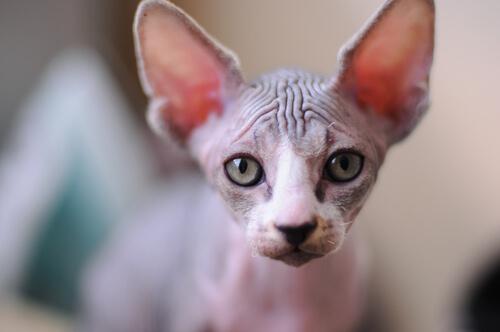 ¿Requiere cuidados especiales la piel del gato egipcio?