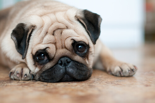 4 cuidados de los perros con arrugas