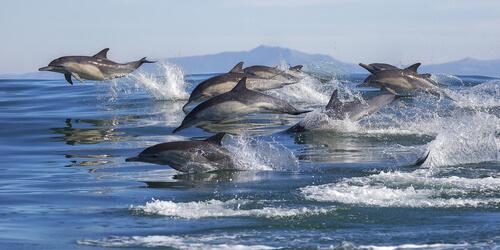 Delfines cazando en grupo