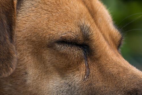¿Qué produce el lagrimeo en tu perro?