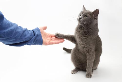 ¿Se puede enseñar a un gato a dar la pata?